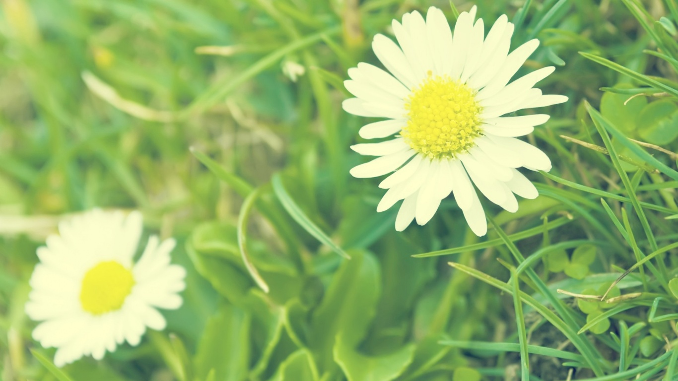 daisy flowers pictures images