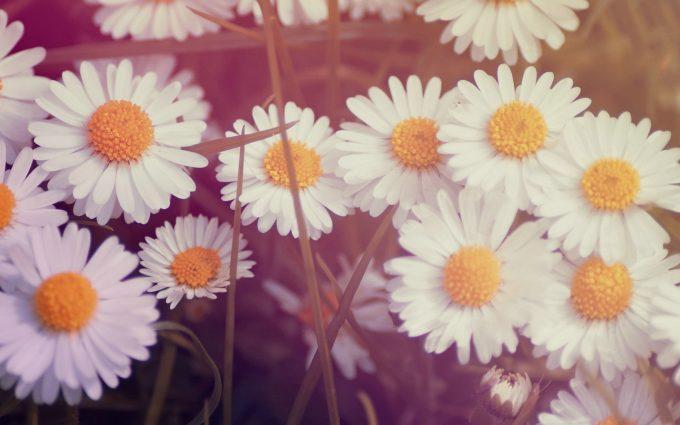 daisy flowers wallpaper
