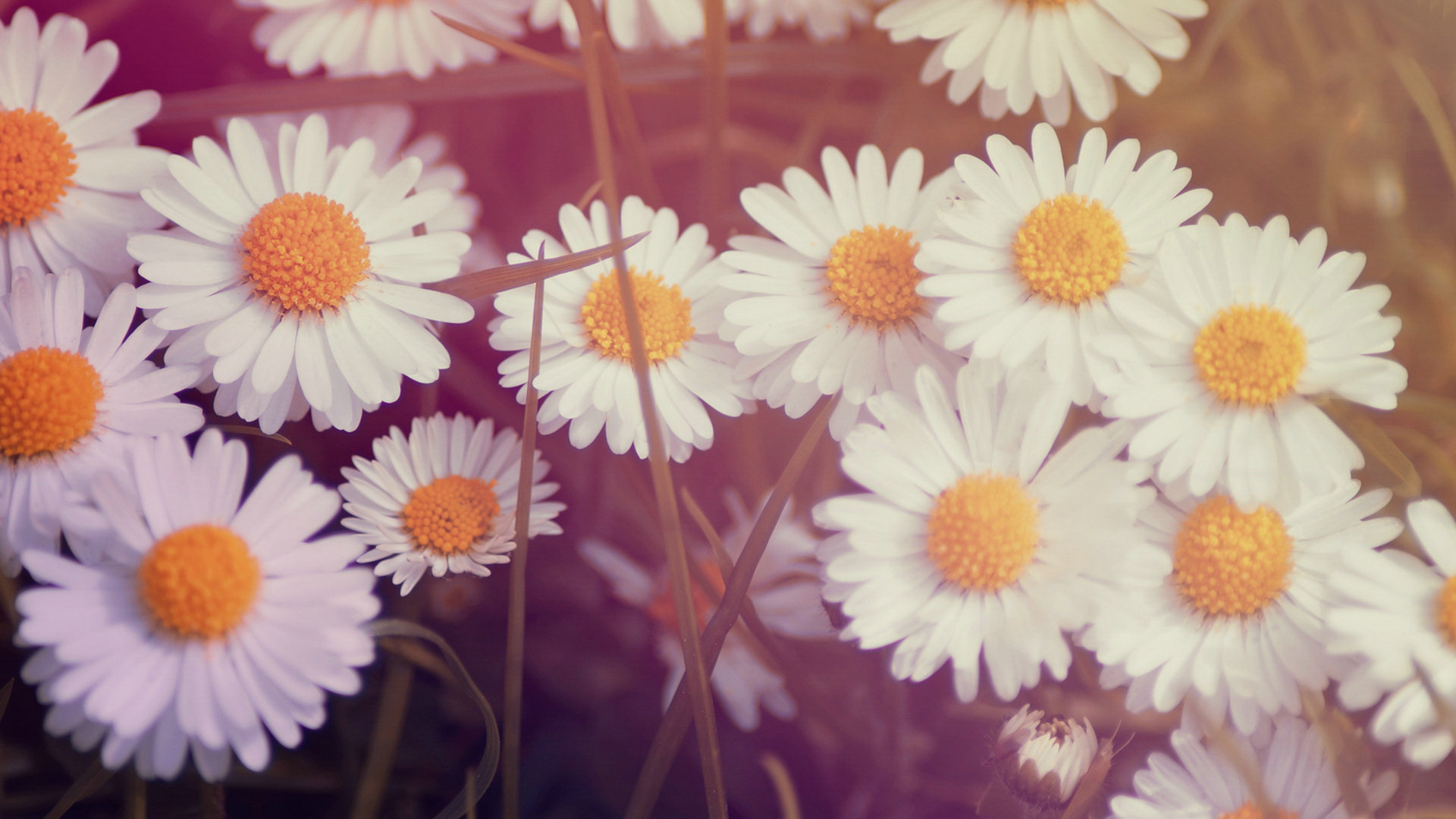 daisy flowers wallpaper