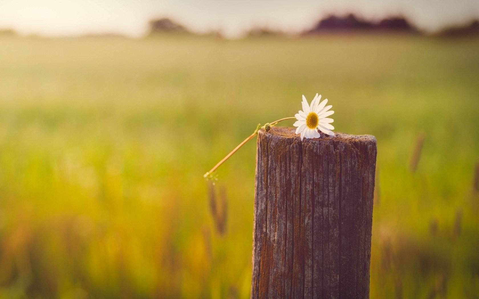 daisy image 1080p