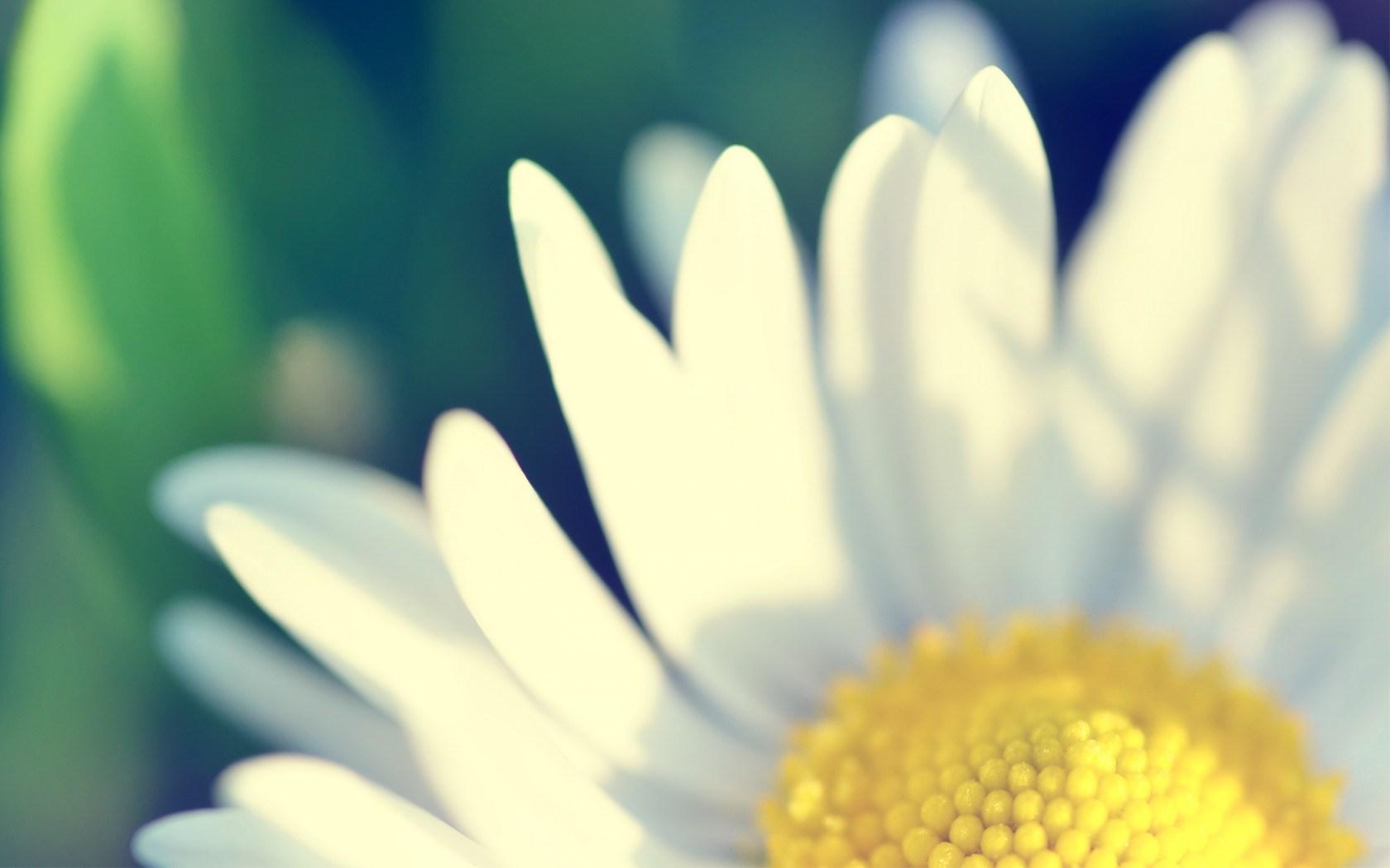 daisy image 1920x1080p