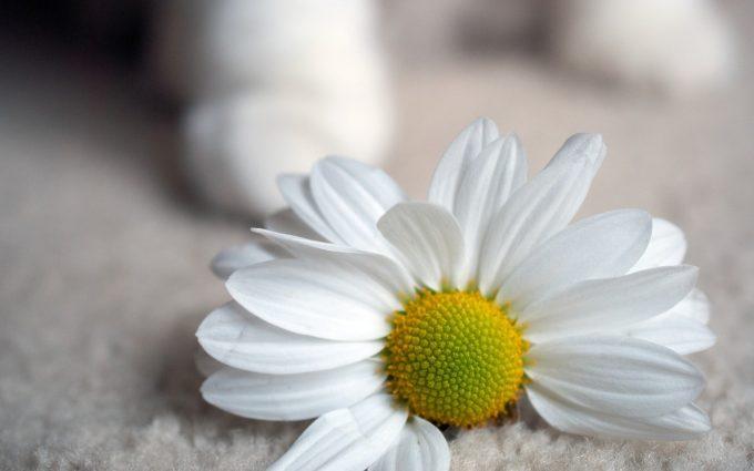 daisy image hd