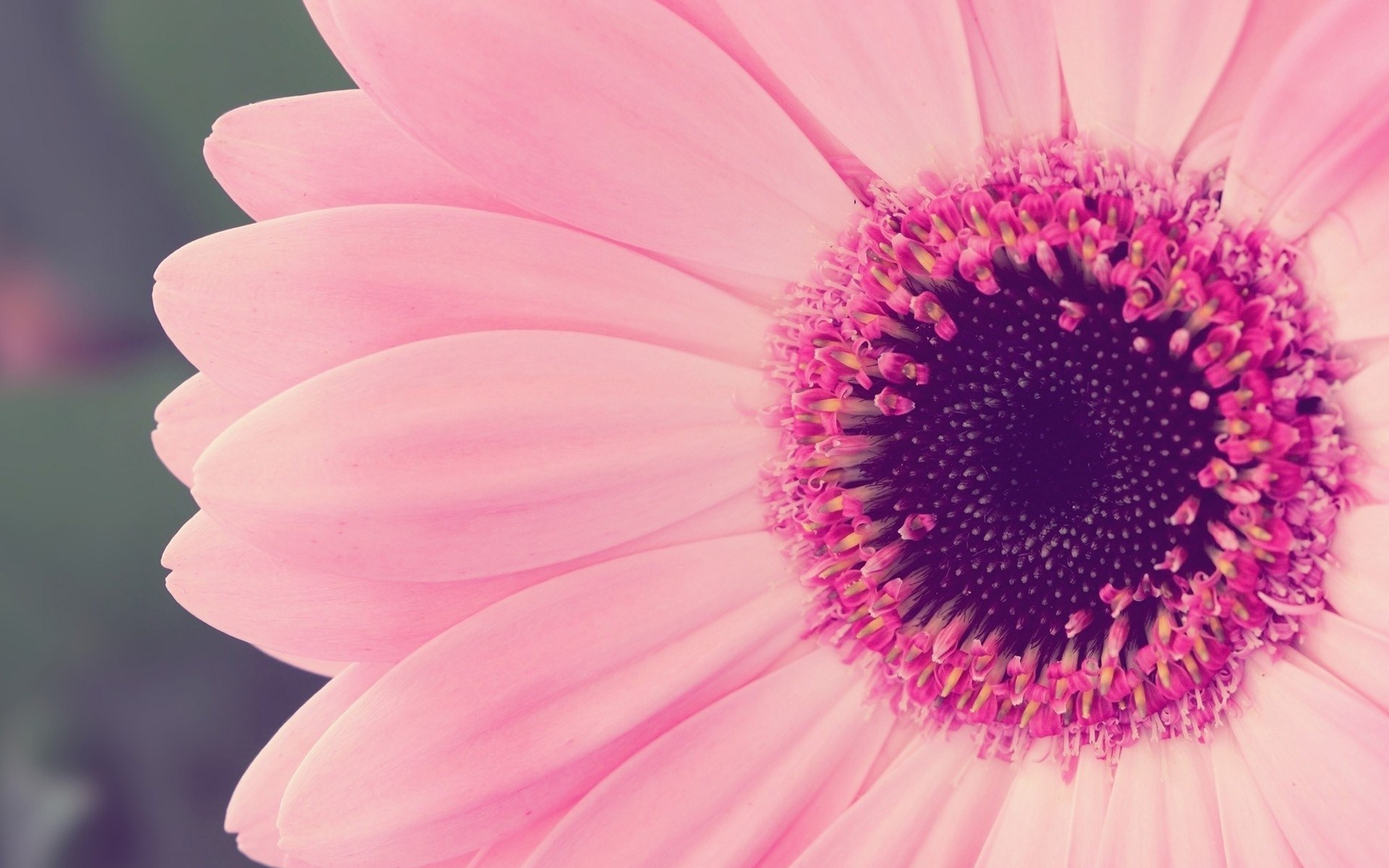 daisy pictures 1920x1080p