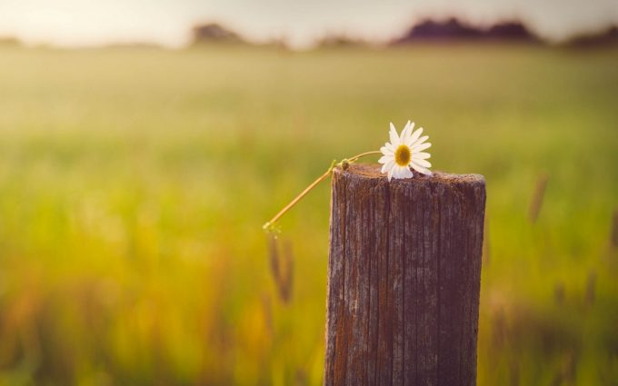 daisy pictures hd