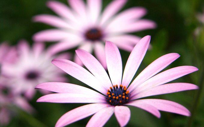 daisy wallpaper 1080p