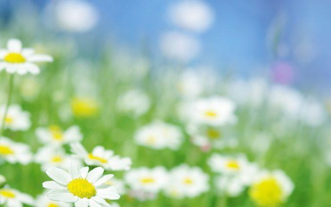 daisy wallpaper hd