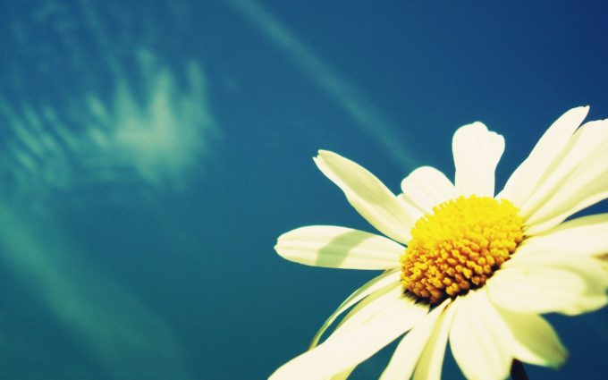 daisy wallpaper white