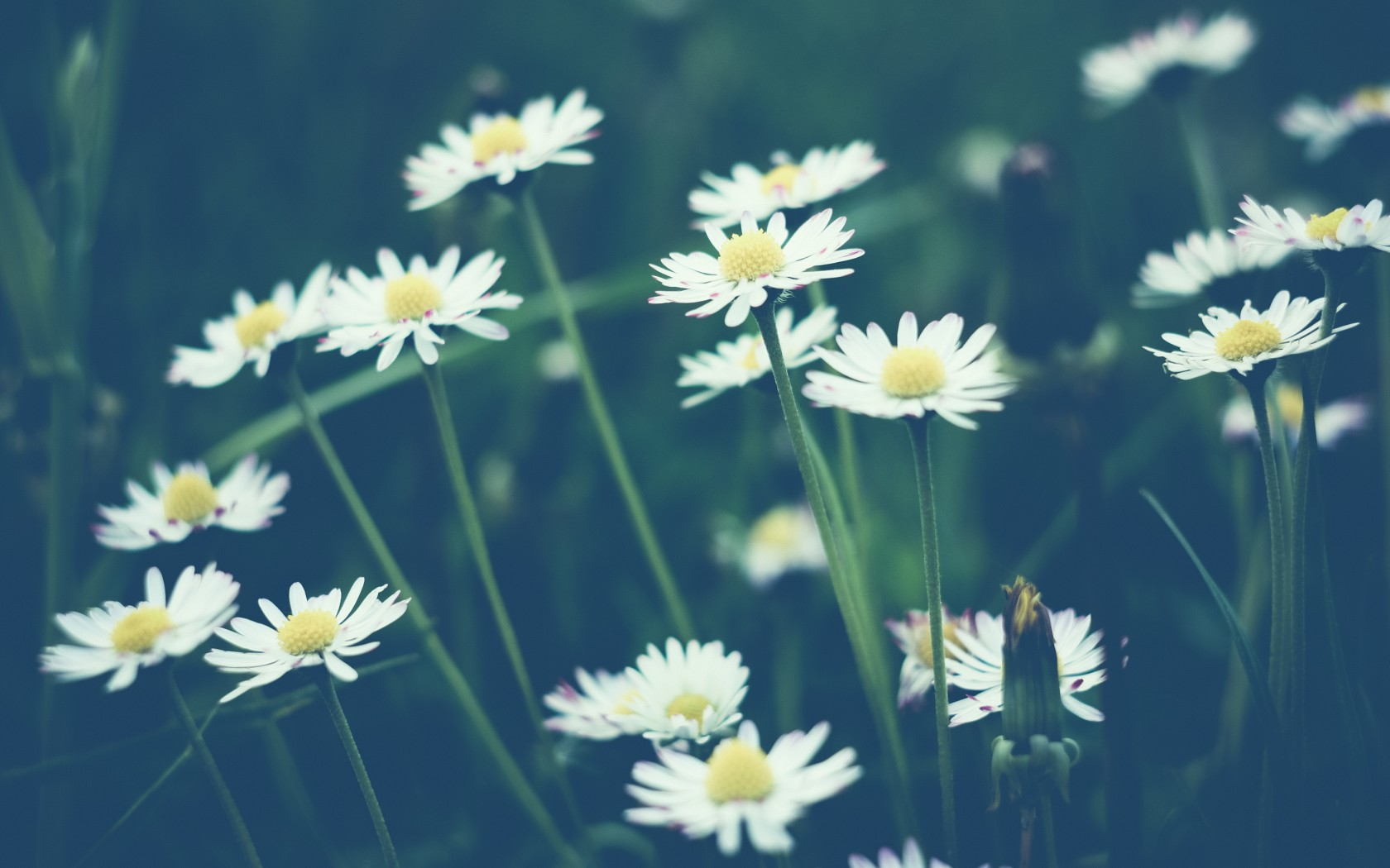 daisy wallpapers hd