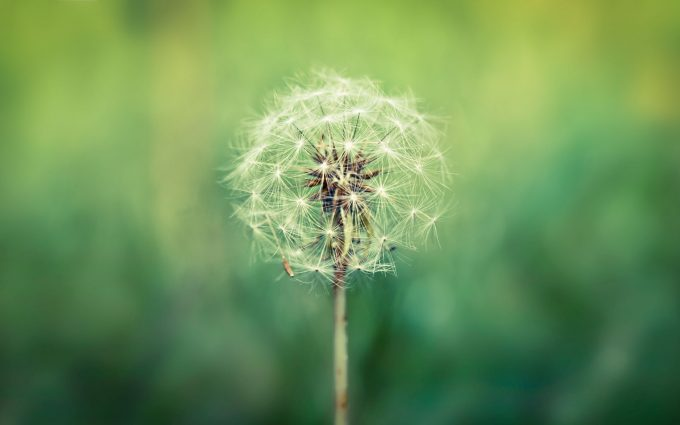 dandelion free download