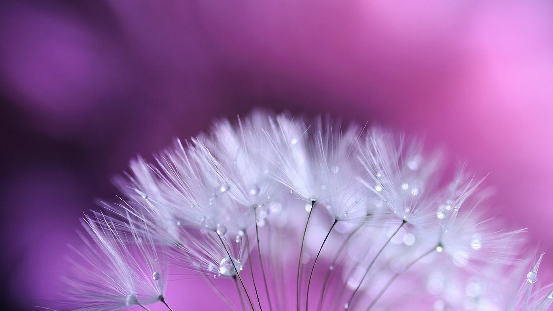 dandelion hd