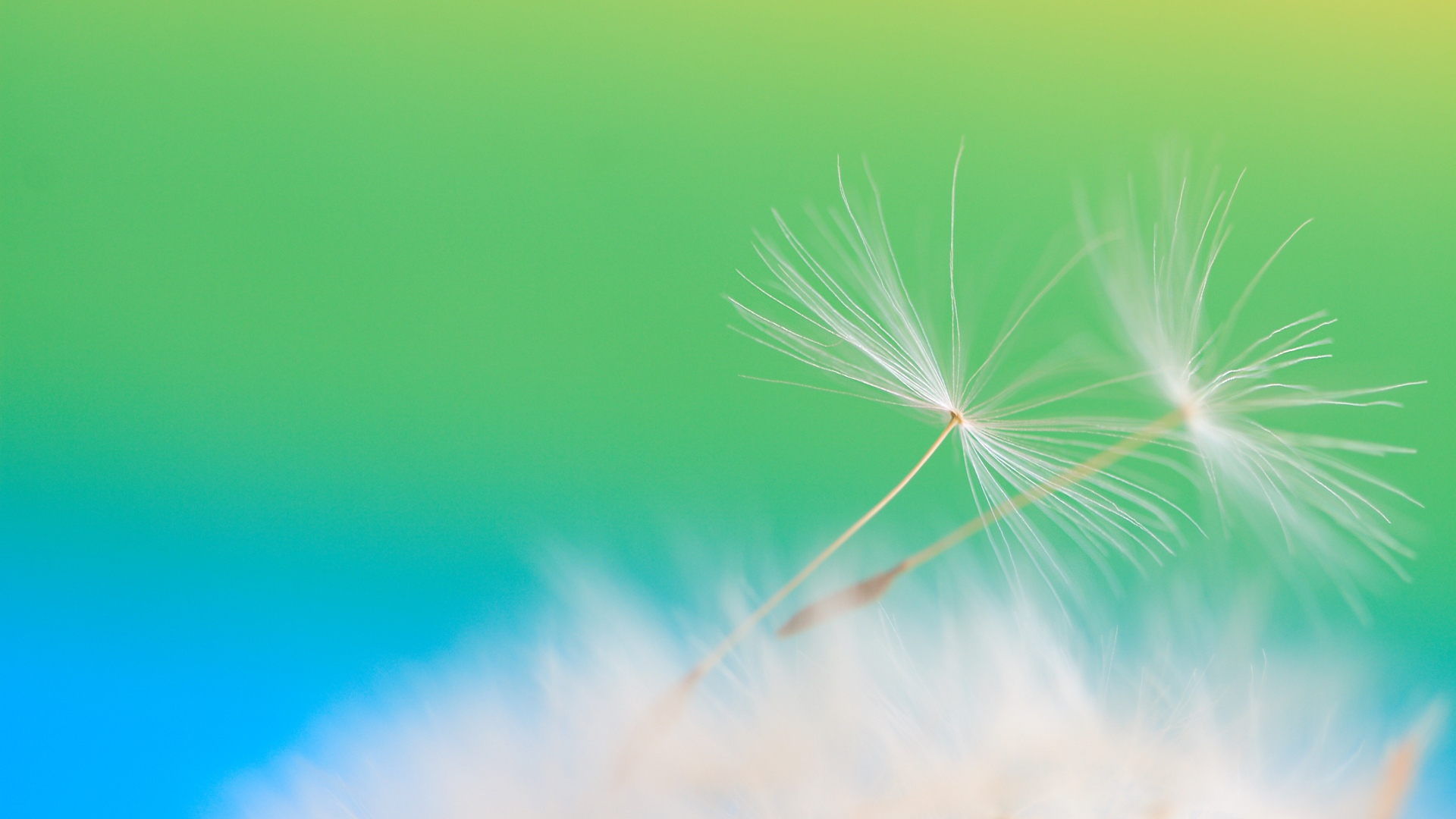 dandelion seeds  backgrounds