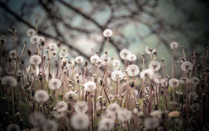 dandelion wallpaper black white