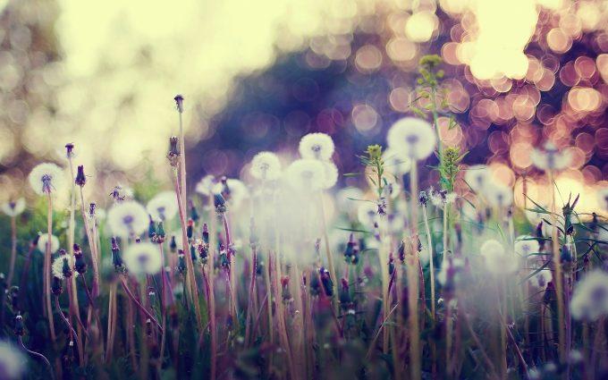 dandelion wallpaper download