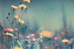dandelion wallpaper free