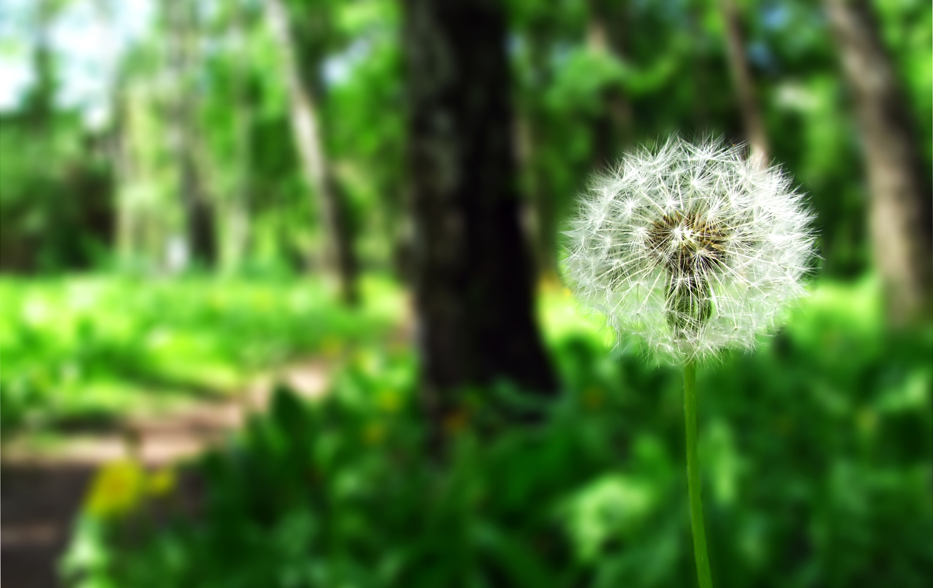 Dandelion Wallpaper Nature