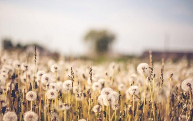 dandelion wallpaper photography
