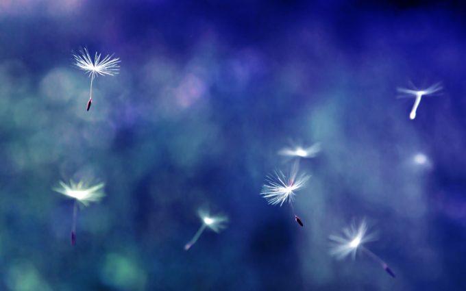 dandelion wallpaper seeds