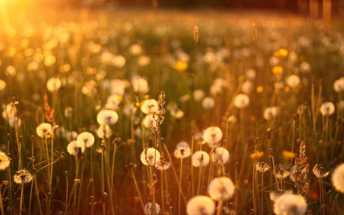 dandelion wallpaper summer