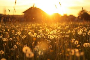 dandelion wallpaper sunset