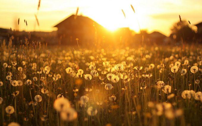 dandelion wallpaper sunset