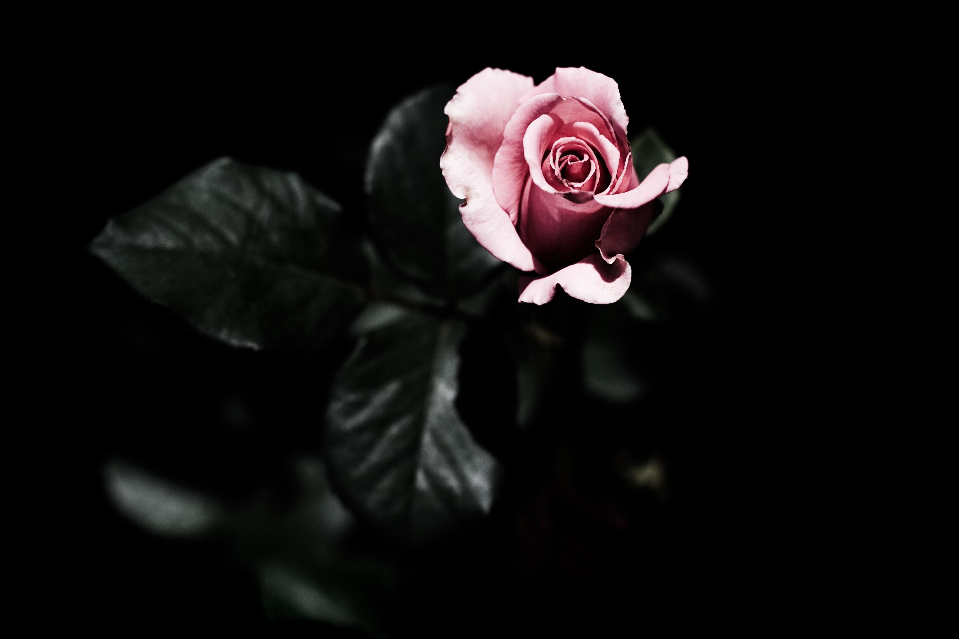 dark flower background - hd desktop wallpapers | 4k hd