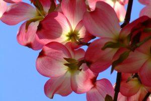 dogwood flowers image