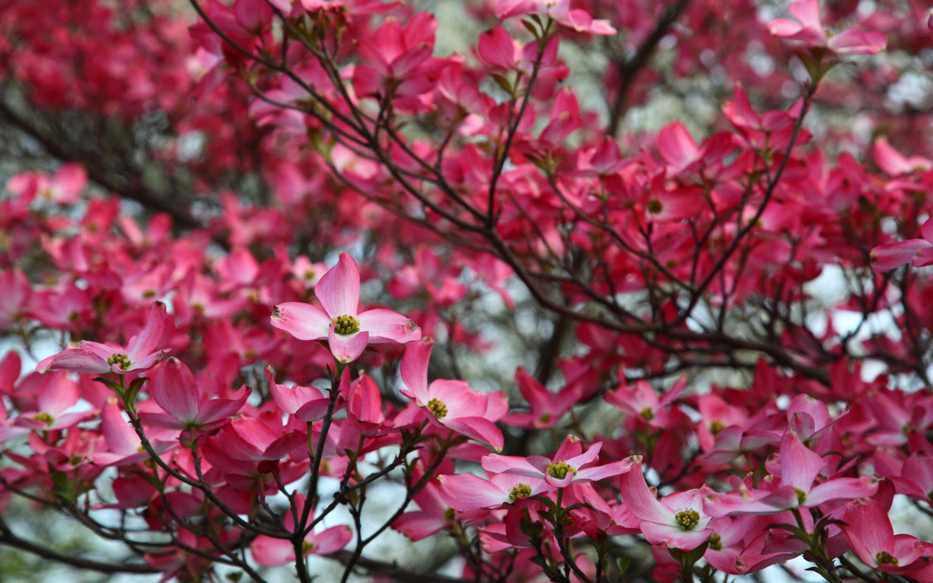 dogwood flowers images