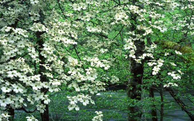 dogwood flowers nature