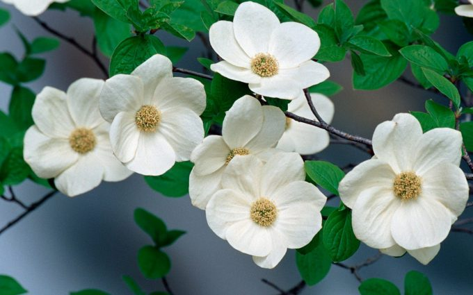 dogwood flowers pictures