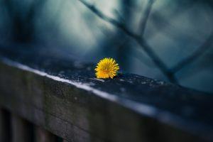 download dandelion