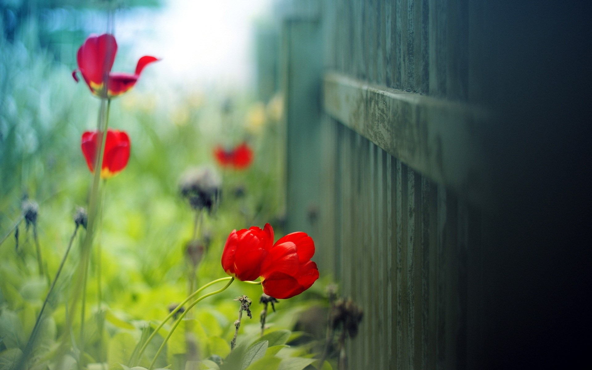 Fence flowers red tulips hd desktop wallpapers 4k hd - Red flower desktop wallpaper ...