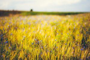 field flowers nature