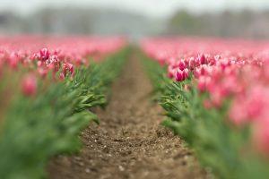 field flowers tulips pink