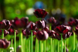 field nature tulips