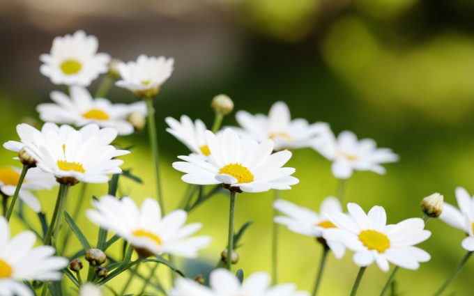 field of daisies pictures