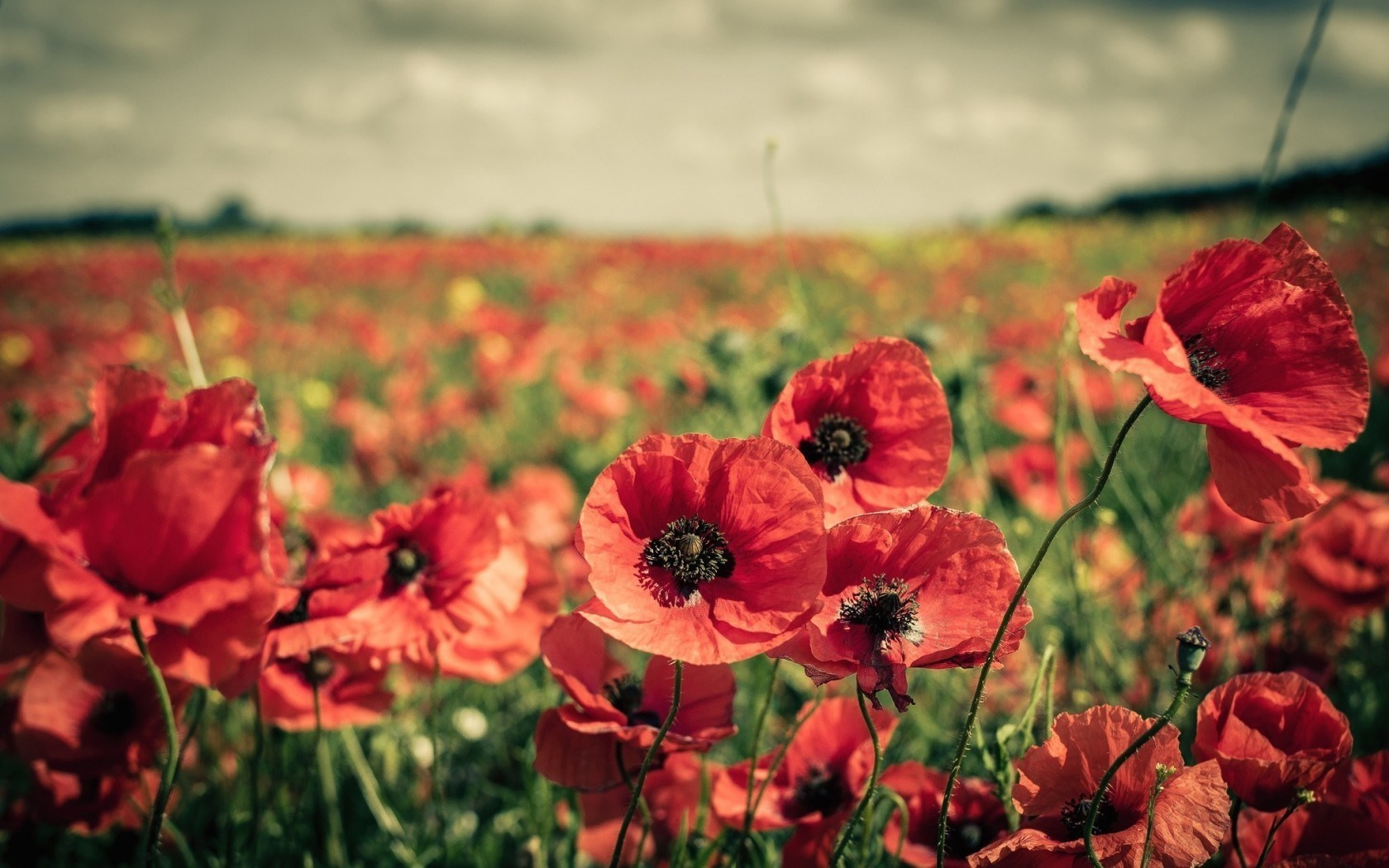 field poppies flowers nature - hd desktop wallpapers | 4k hd