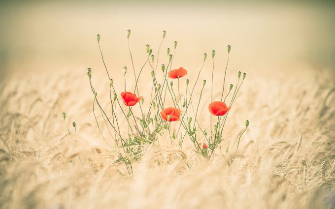 field poppies nature