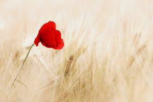 field poppy wallpaper