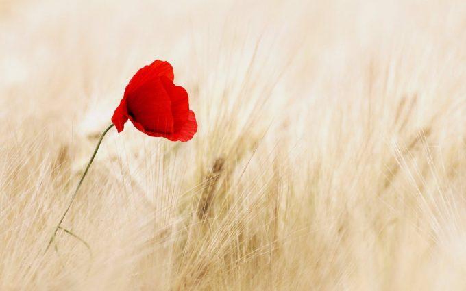 field poppy wallpaper