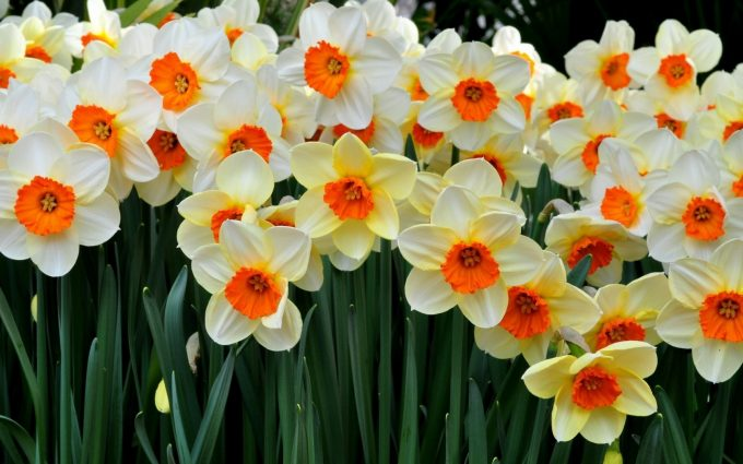 fields of daffodils photos