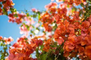 flower bougainvillea