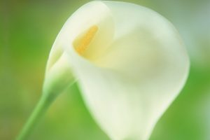 flower calla lily