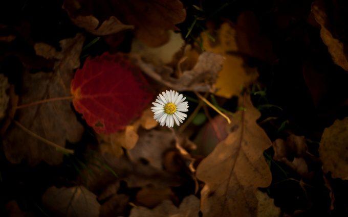 flower chamomile leaves autumn