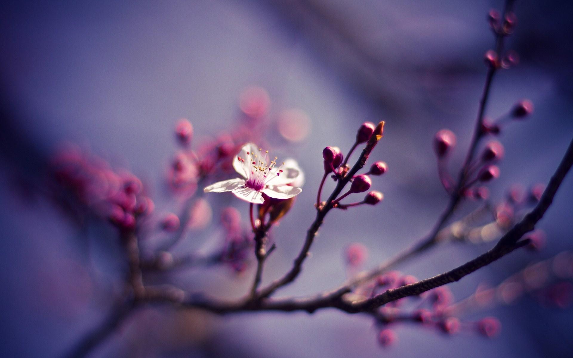 flower cherry spring
