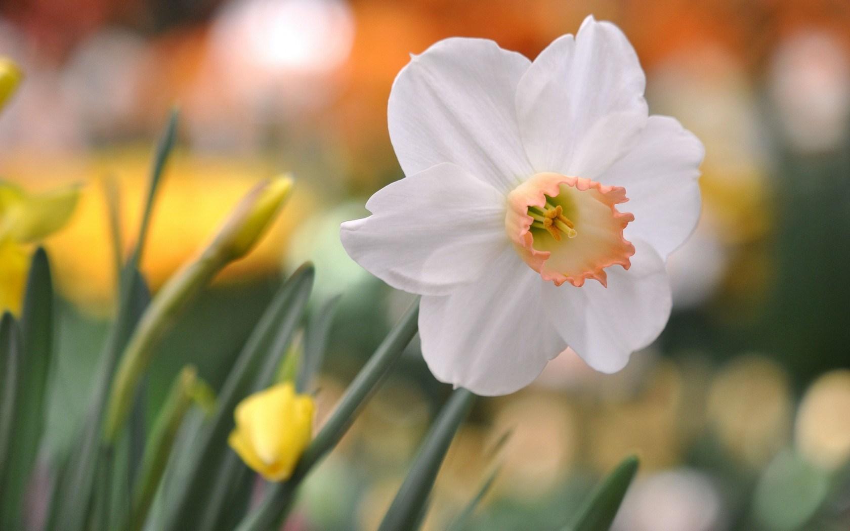 flower daffodil glare - HD Desktop Wallpapers | 4k HD
