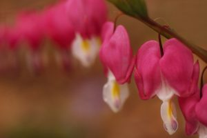 flower dicentra bleeding heart