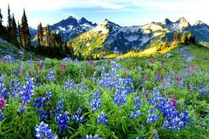 Wildflowers and the Tatoosh range at sunrise, Mt. Rainier National Park, Washington