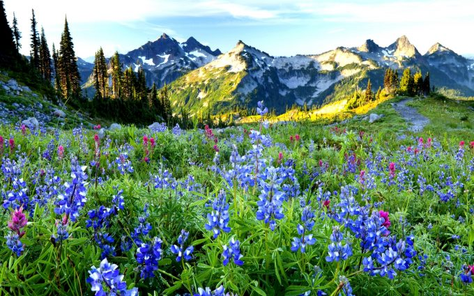 Wildflowers and the Tatoosh range at sunrise, Mt. Rainier National Park, Washington