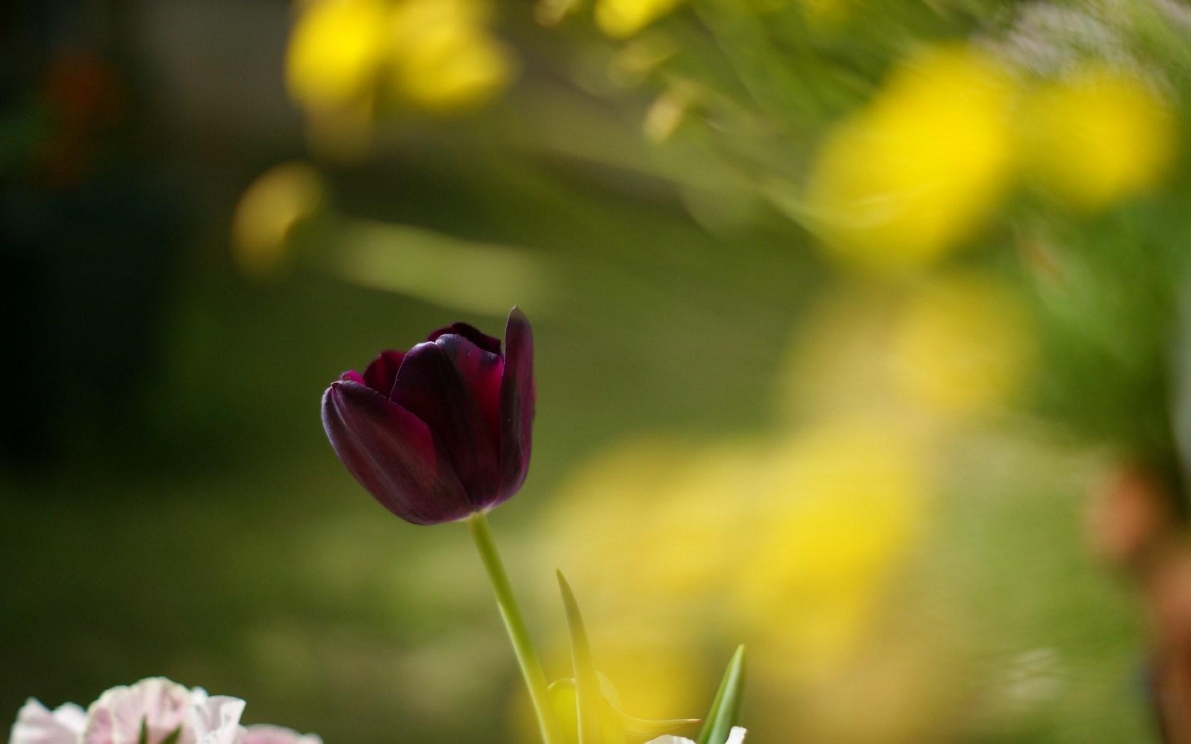 flower macro tulip