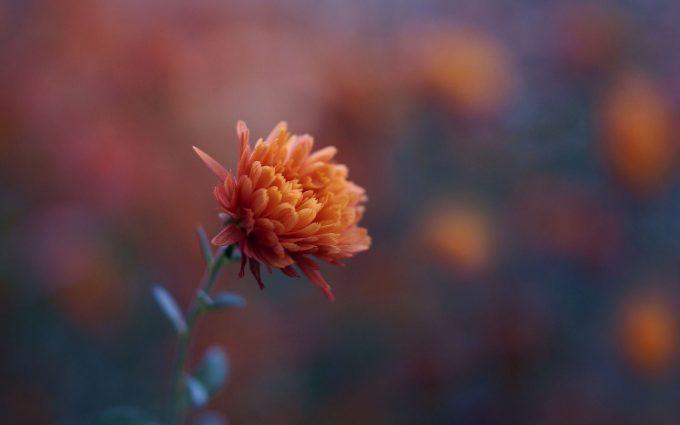 flower orange chrysanthemum photo